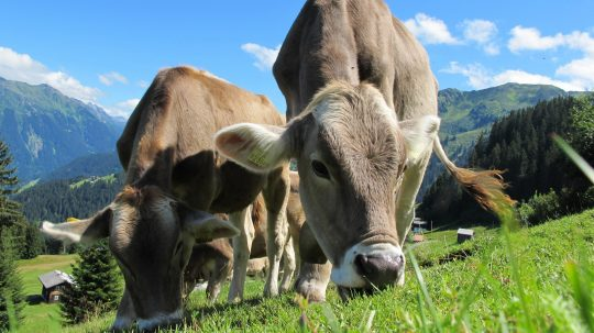 animals-cattle-countryside-cows-64231